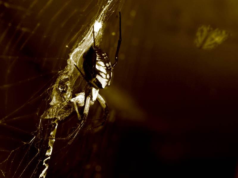 The Inkblot Spider and Her Prey